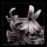 Dark Flowers VI by CaroFiresoul