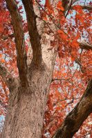 Red Maple by MasterOfElements