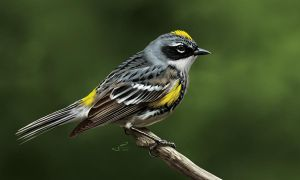 Yellow-rumped Warbler by albertoguerra