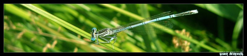 young.dragonfly by ticalion