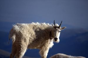 Rocky Mountain Goat by sidharth0384