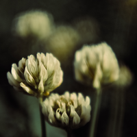 Cottonflower by ifsantag