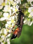 Ichneumon Wasp by iriscup
