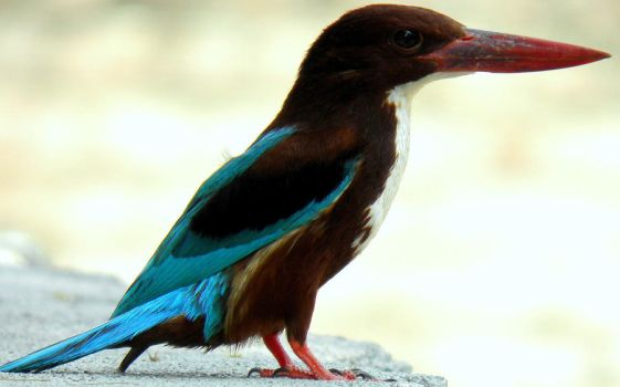 king is king is king fisher by kumarvijay1708