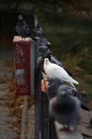 Pigeons ::1:: by dr-snoggle