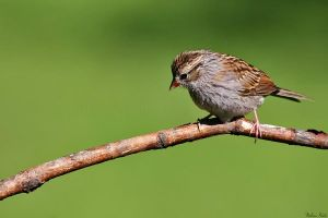 Young Sparrow by mydigitalmind