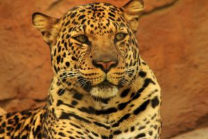 Stock: Leopard by Celem