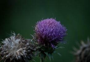 Thistle by eat-ride-listen
