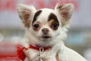 tricolour chihuahua by bloody-rider
