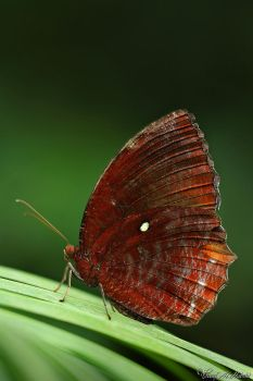 Common Palmfly by AlHabshi