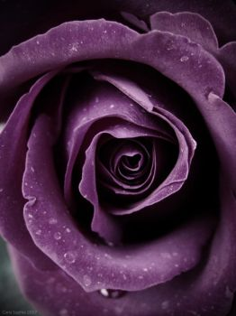 Purple Rose V by CarlaSophia