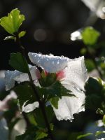 Rose of Sharon Stock 05 by botanystock