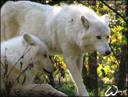 Arctic wolf: Support me.. by woxys