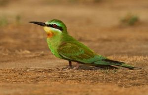 The Emerald Jewel - Blue-cheeked Bee-eater by Jamie-MacArthur